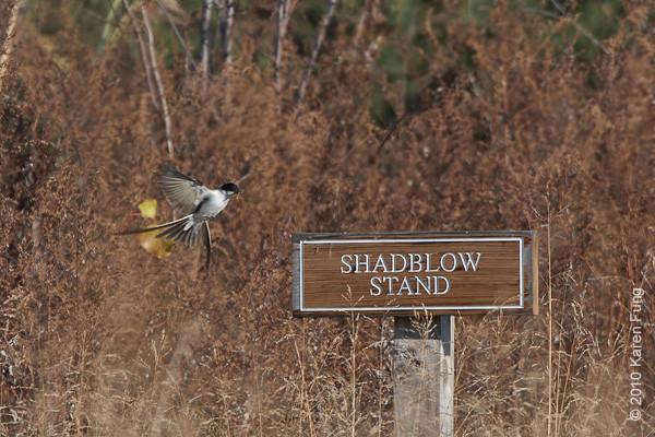 29 November: Fork-tailed Flycatcher in flight with grasshopper in bill.  Stamford, CT.