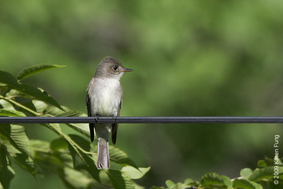 June 1st: Empidonax Flycatcher in Rockland County, NY