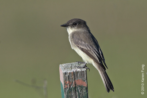 10 Oct: Eastern Phoebe at Jones Beach
