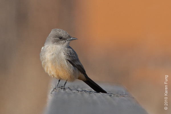 8 December:  Say's Phoebe