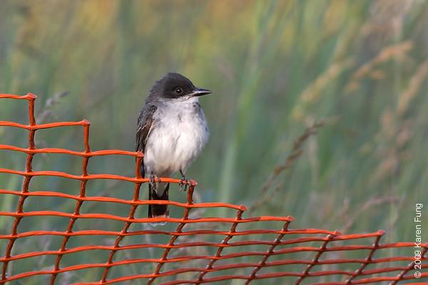 July 4th:  Eastern Kingbird in Orange County