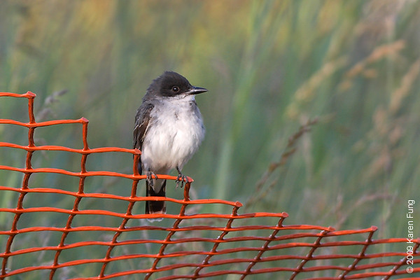 July 4th:  Eastern Kingbird in Orange County