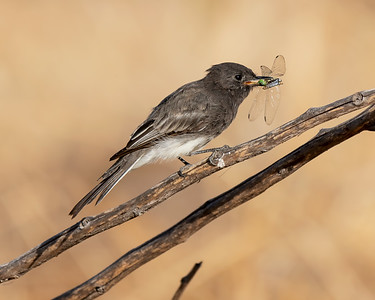 BLACK PHOEBE, AT MATHER REGIONAL PARK, SACRAMENTO CO, CA.