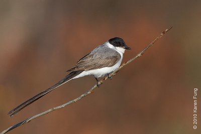 29 November: Fork-tailed Flycatcher in Stamford, CT.