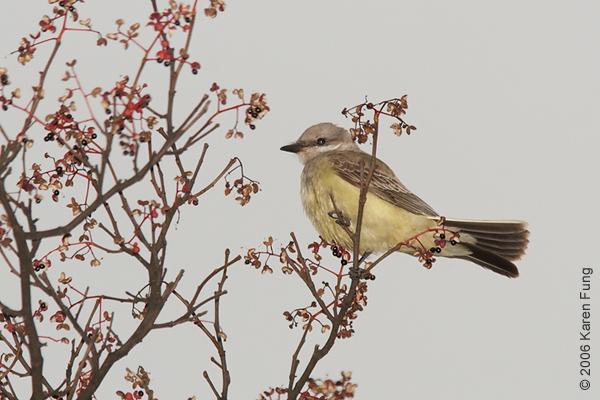 28 November: Western Kingbird at the NY Botanical Garden (Bronx).  A rare visitor to this region.
