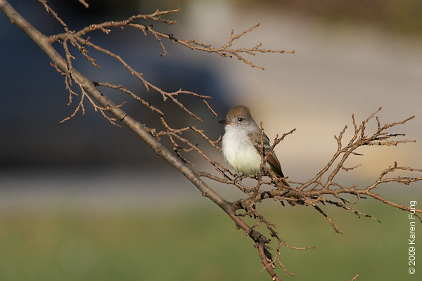 Nov 29th: Ash-throated Flycatcher in Queens, NYC.  A rare sighting for New York.