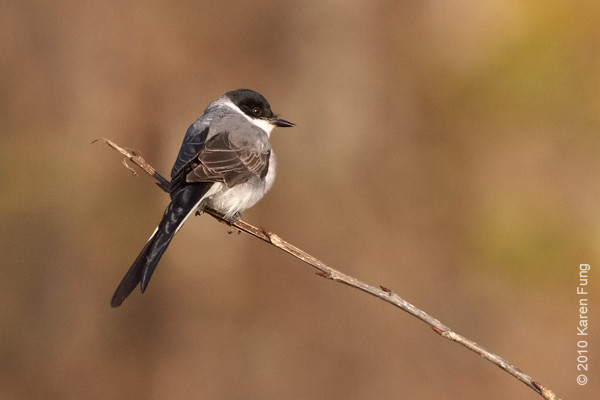 21 November: Fork-tailed Flycatcher in Stamford, CT.  The tail is foreshortened from this angle.