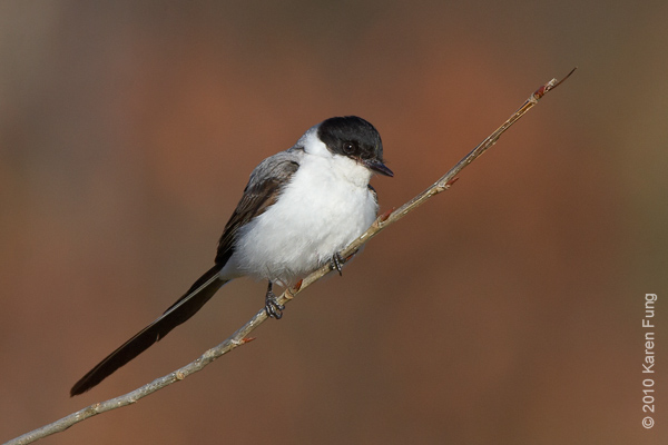 29 November: Fork-tailed Flycatcher in Stamford, CT.  This is a very rare bird for the Northeast, and would normally be in Mexico or Argentina at this time of year.