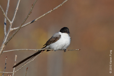 29 November: Fork-tailed Flycatcher in Stamford, CT.  Yellow stripe slightly visible on crown, indicating a male.