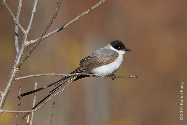 29 November: Fork-tailed Flycatcher showing off his tail in Stamford, CT.