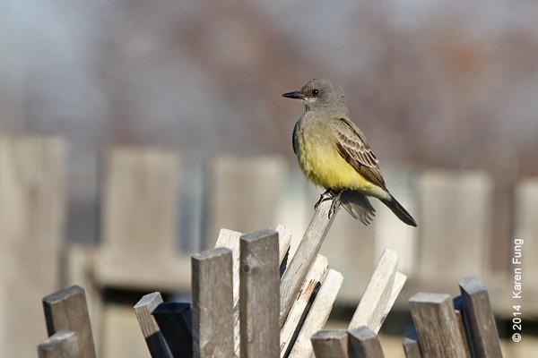 30 Nov: Cassin's Kingbird continuing at Floyd Bennett Field (Brooklyn).