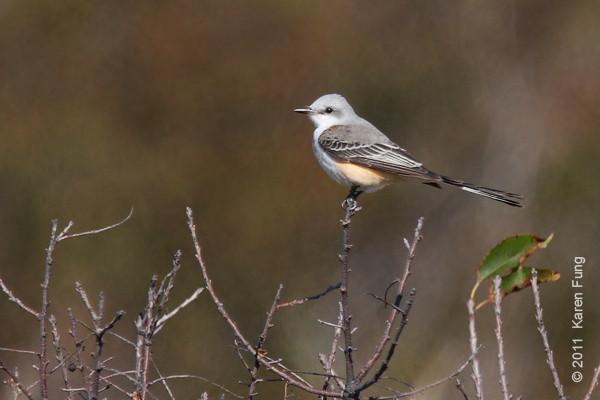 22 October: Scissor-tailed Flycatcher