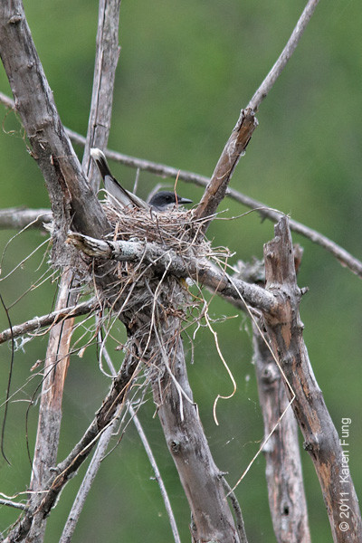 14 May: East Kingbird sitting on a nest at Sterling Forest
