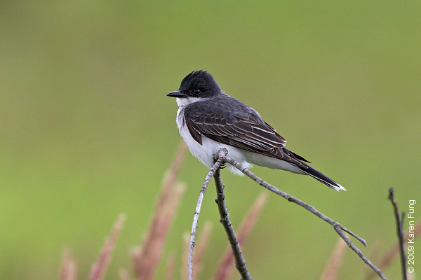 July 4th:  Eastern Kingbird in Montgomery County