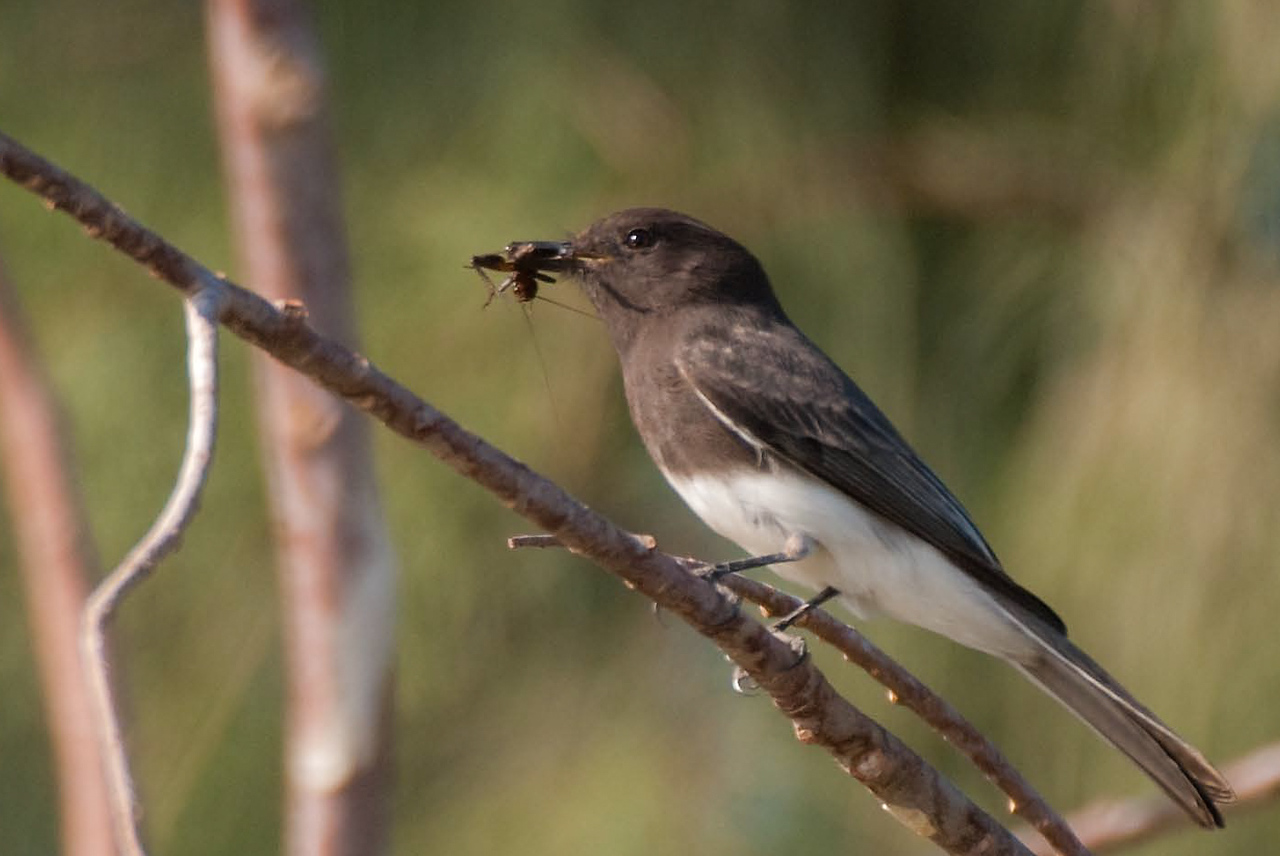 Black Phoebe, a Southern California flycatcher