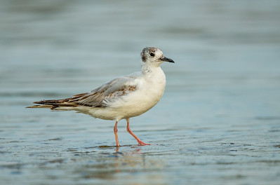 Young Bonaparte's gull