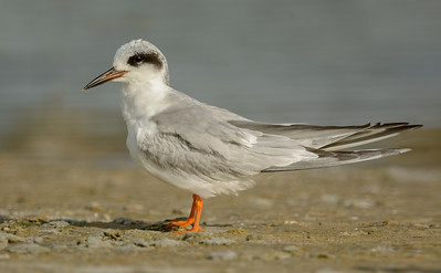 Forester Tern