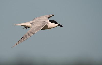 Gull Tern