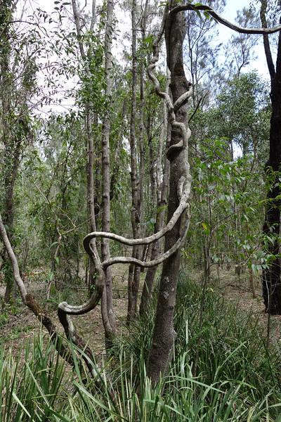 Common Silkpod or Monkey vine (Parsonsia straminea)