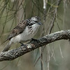 Striped Honeyeater (Plectorhyncha lanceolata)