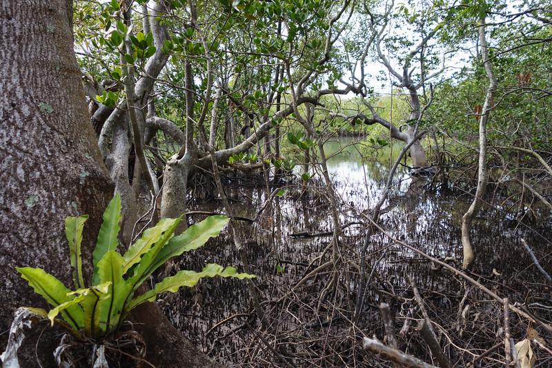 Mangroves Tallebudgera Creek Conservation Park