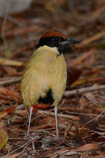 Noisy Pitta (Pitta versicolor)