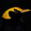 Regent Bowerbird.<br /> Currumbin Wildlife Sanctuary, Gold Coast, Queensland.