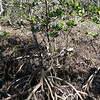 Red mangrove (Rhizophora stylosa)