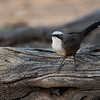 Hall's Babbler (Pomatostomus halli)