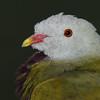 Wompoo Fruit-dove (Ptilinopus magnificus)