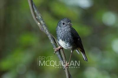 North Island robin (Petroica longipes)
