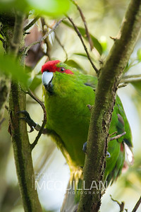 Red-crowned parakeet (Cyanoramphus novaezelandiae)
