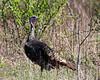 Wild Turkey @ Highbanks - April 2010
