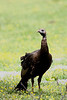 Wild Turkey @ Cade's Cove Smokey National Park, TN - May 2008