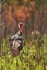 Wild Turkey @ South Carolina - March 2009