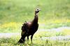 Wild Turkey @ Cades Cove Smokey Mountain National Park, May 2008