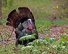 Wild Turkey @ Blendon woods MP, Ohio - April 2011