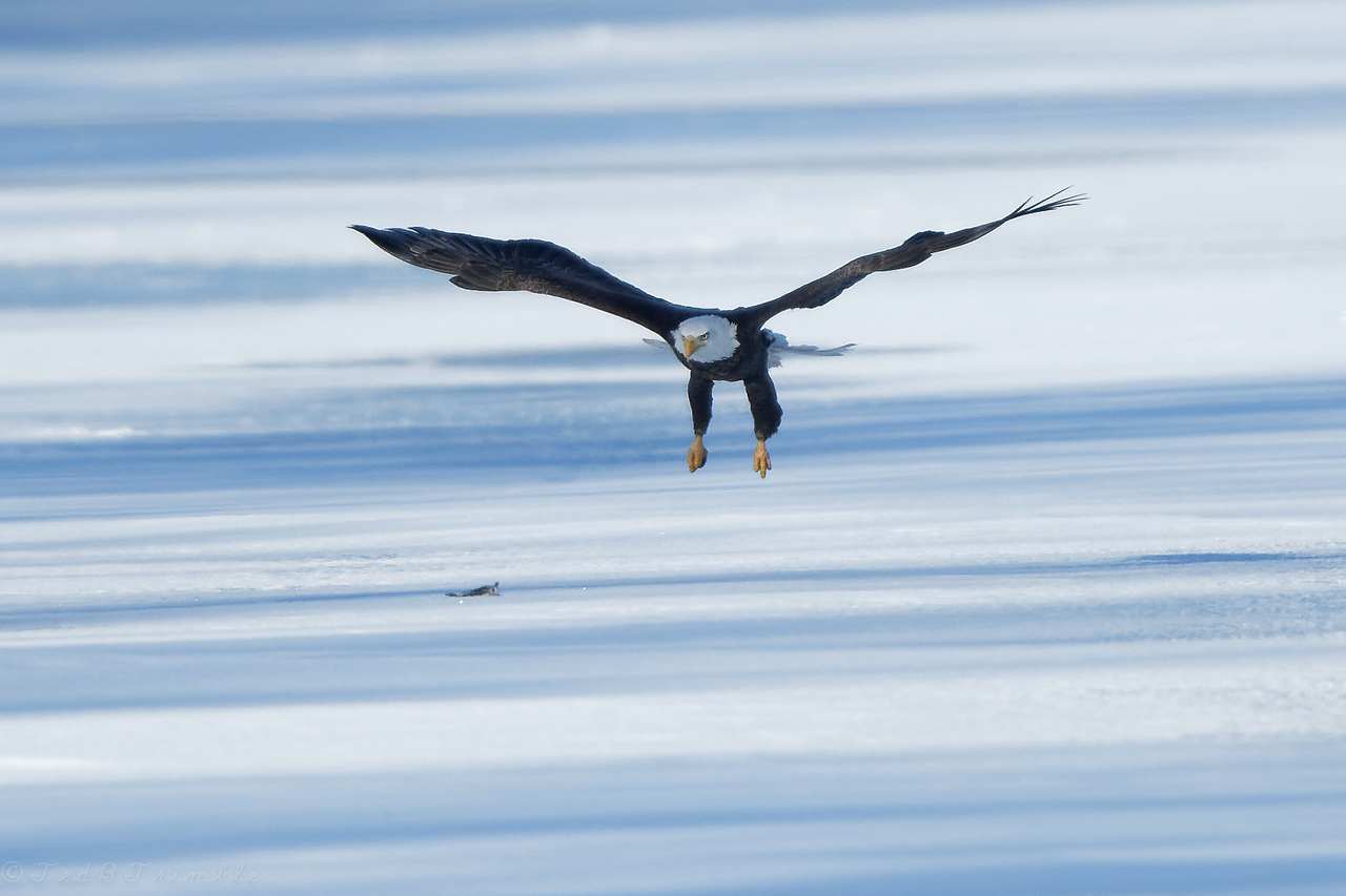 Approaching a fish dropped by another eagle.