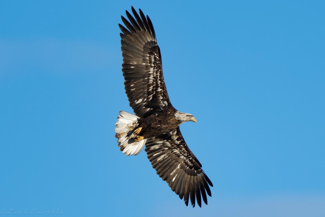 The setting Sun  illuminates this immature eagle