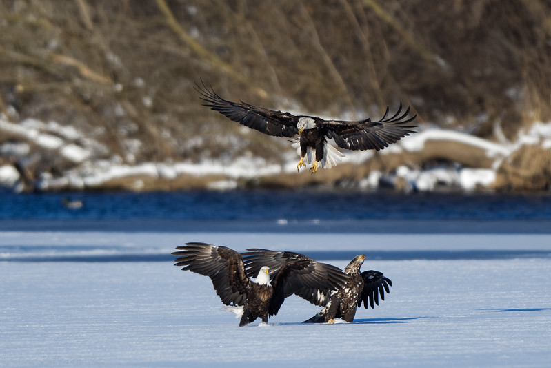 The third eagle tries to scare both off but nobody leaves.