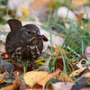 Fox Sparrow<br /> 16 OCT 2012