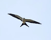 Swallow-Tailed Kite.
