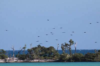 December 2009, Dry Tortugas National Park, Florida, USA  Nesting colony on Long Key