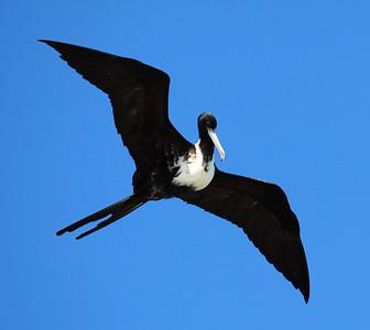 December 2009, Dry Tortugas National Park, Florida, USA  Adult female