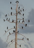 Cormorant Tree
