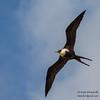 Great Frigatebird - Female - Darwin Bay, Isla Genovesa, Galapagos, Ecuador