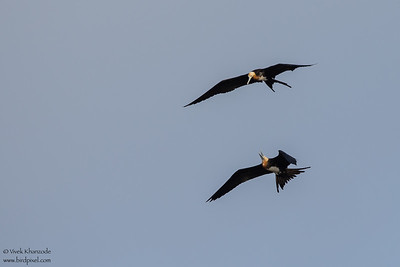Great Frigatebirds fighting - Juvenile - Darwin Bay, Isla Genovesa, Galapagos, Ecuador
