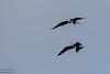 Great Frigatebirds fighting - Juvenile - Darwin Bay, Isla Genovesa, Galapagos, Ecuador