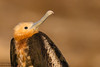 Great Frigatebird - Juvenile - Prince Philip's Steps, Isla Genovesa, Galapagos, Ecuador