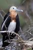 Great Frigatebird - Juvenile - Darwin Bay, Isla Genovesa, Galapagos, Ecuador